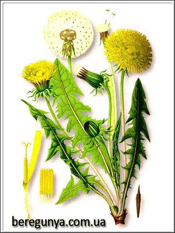 Рослина кульбаба